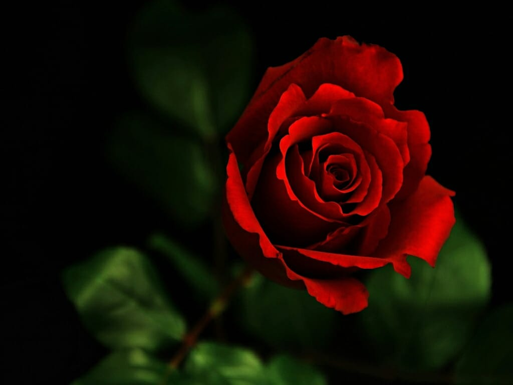 Скачать фото цветков розы онлайн