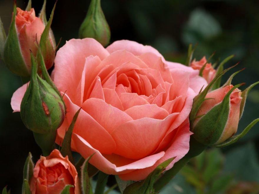 Красивые фото алых роз бесплатно