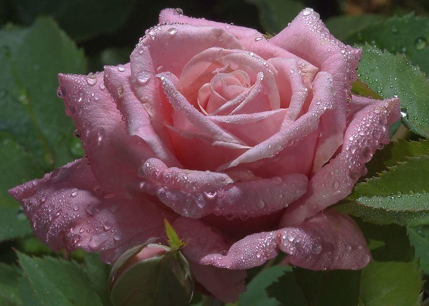 Купить фото цветков розы? Скачайте бесплатно