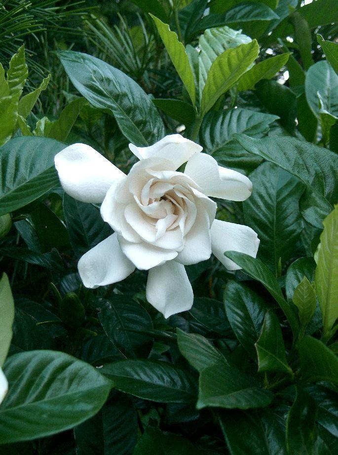 Сложный уход за цветками гардении