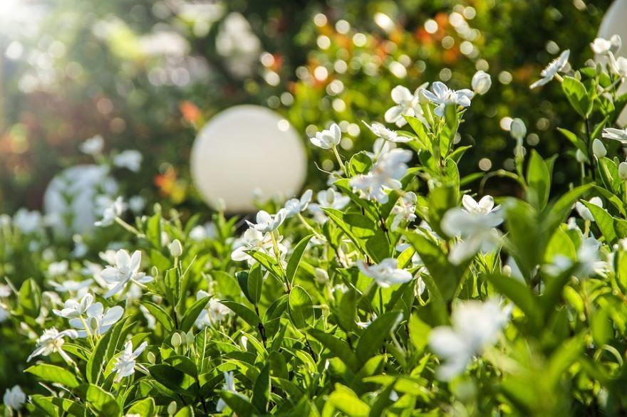 Фото цветущих растений гардений в домашних условий