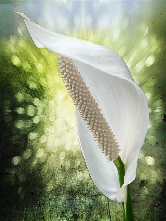Смотреть фото цветков спатифиллум