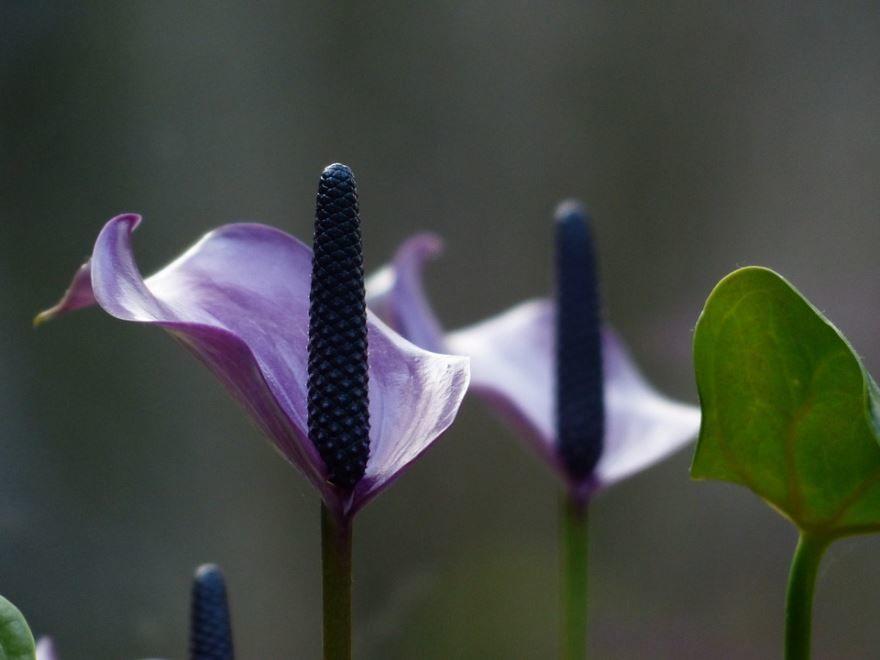 Купить фото цветка спатифиллум? Скачайте бесплатно
