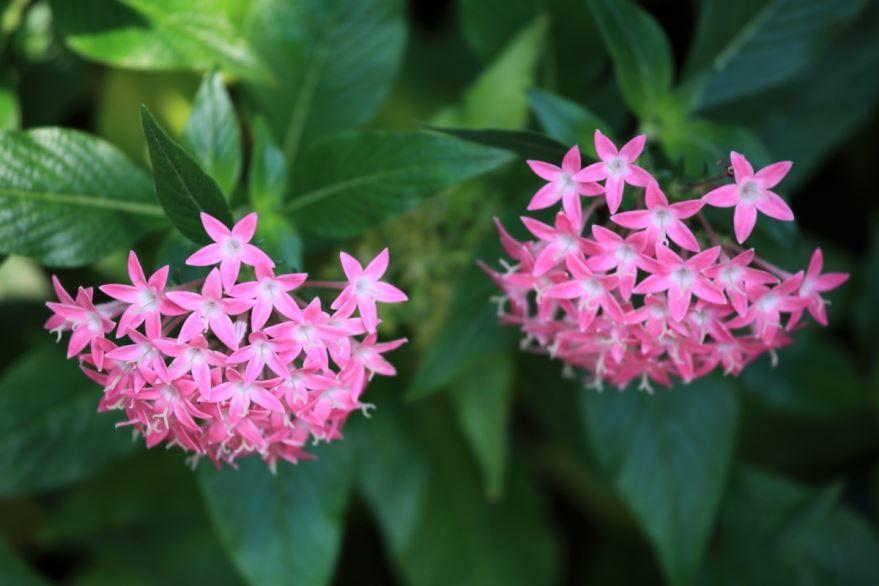 Красивые фотографии цветков пентас бесплатно