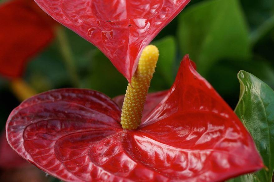 Скачать фото домашних, цветущих антуриумов