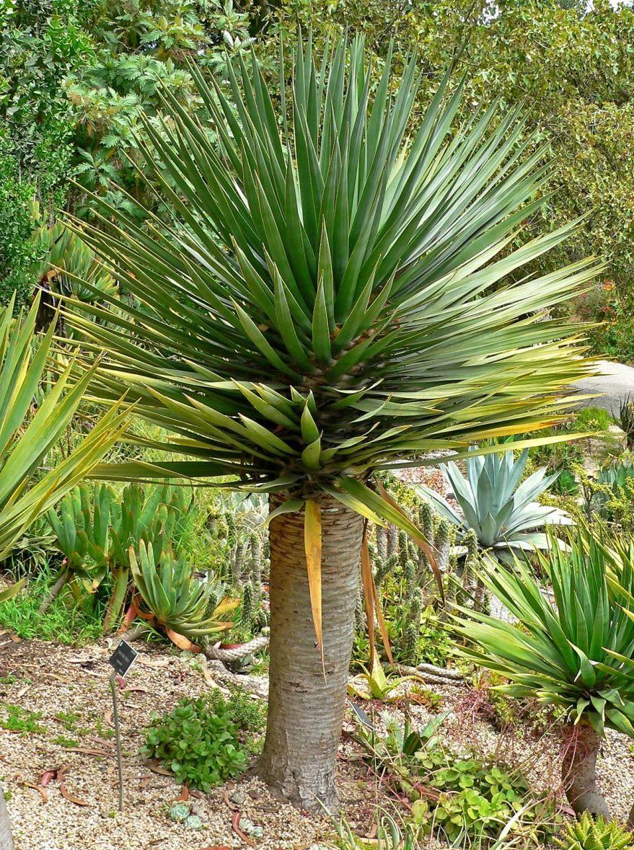 Сложный уход за растением драцены в домашних условиях