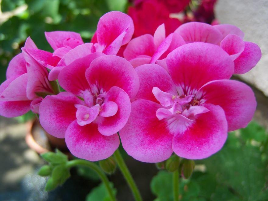 Фото и картинки садовой герани с листьями онлайн