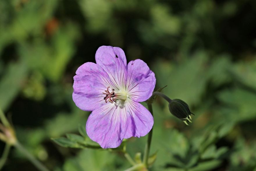 Фото душистой, цветущей, садовой герани бесплатно