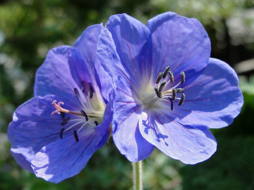 Скачать фото домашней, цветущей герани бесплатно