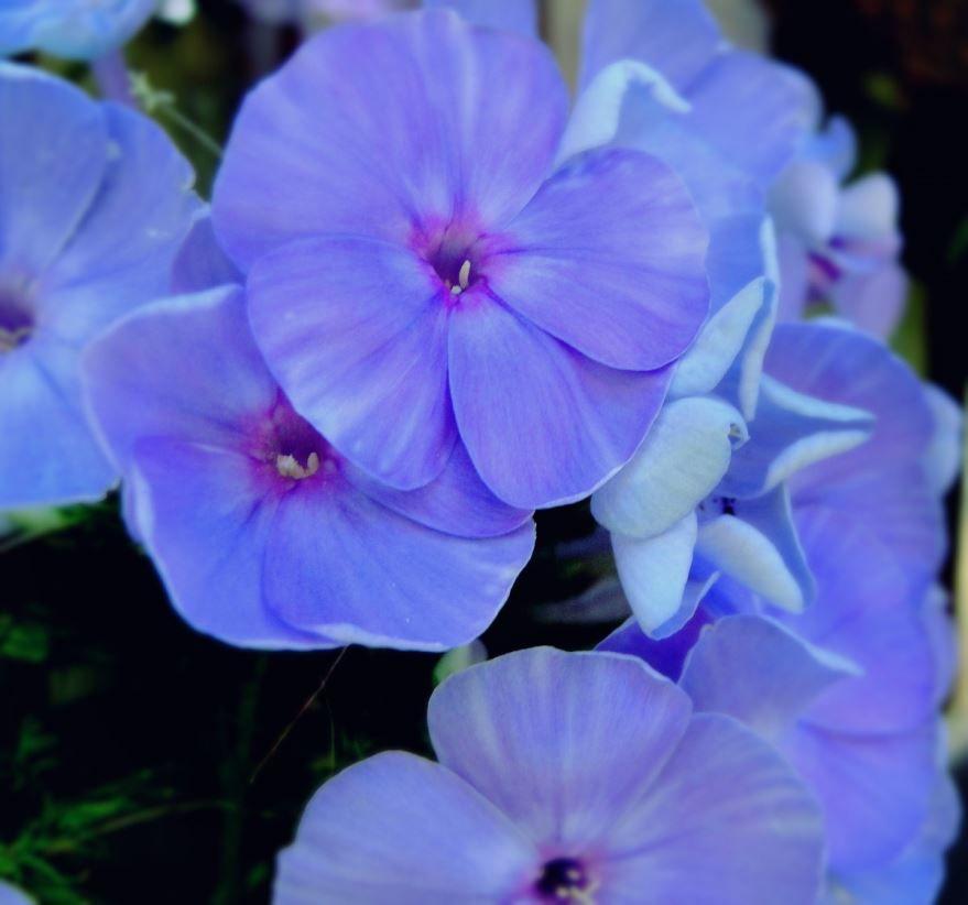 Простой уход за растением герань в домашних условиях