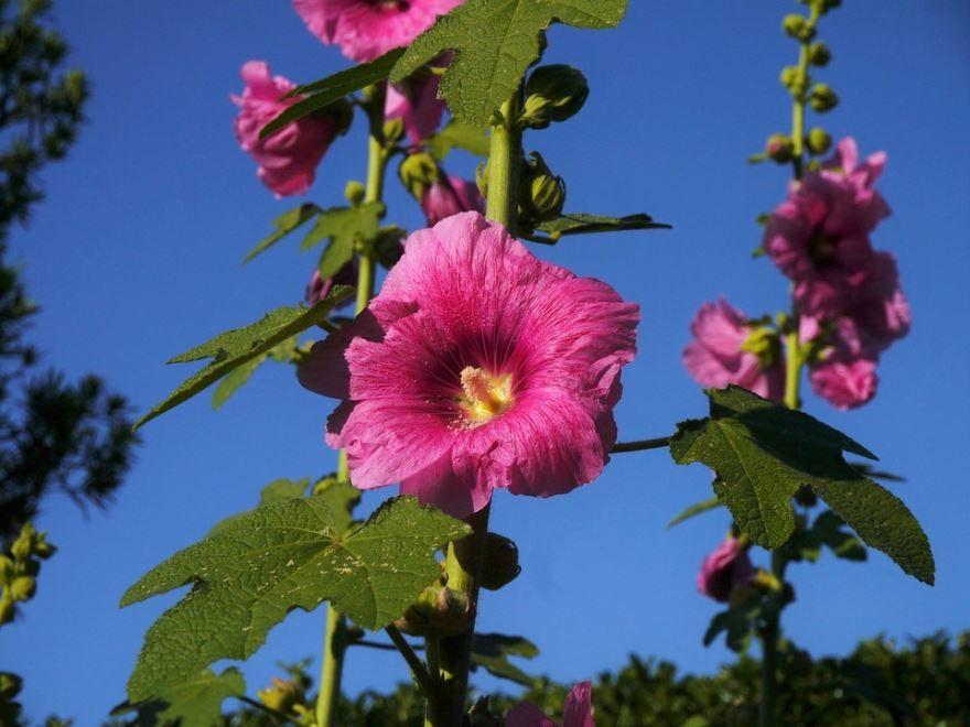 Скачать фото и картинки растения алтей