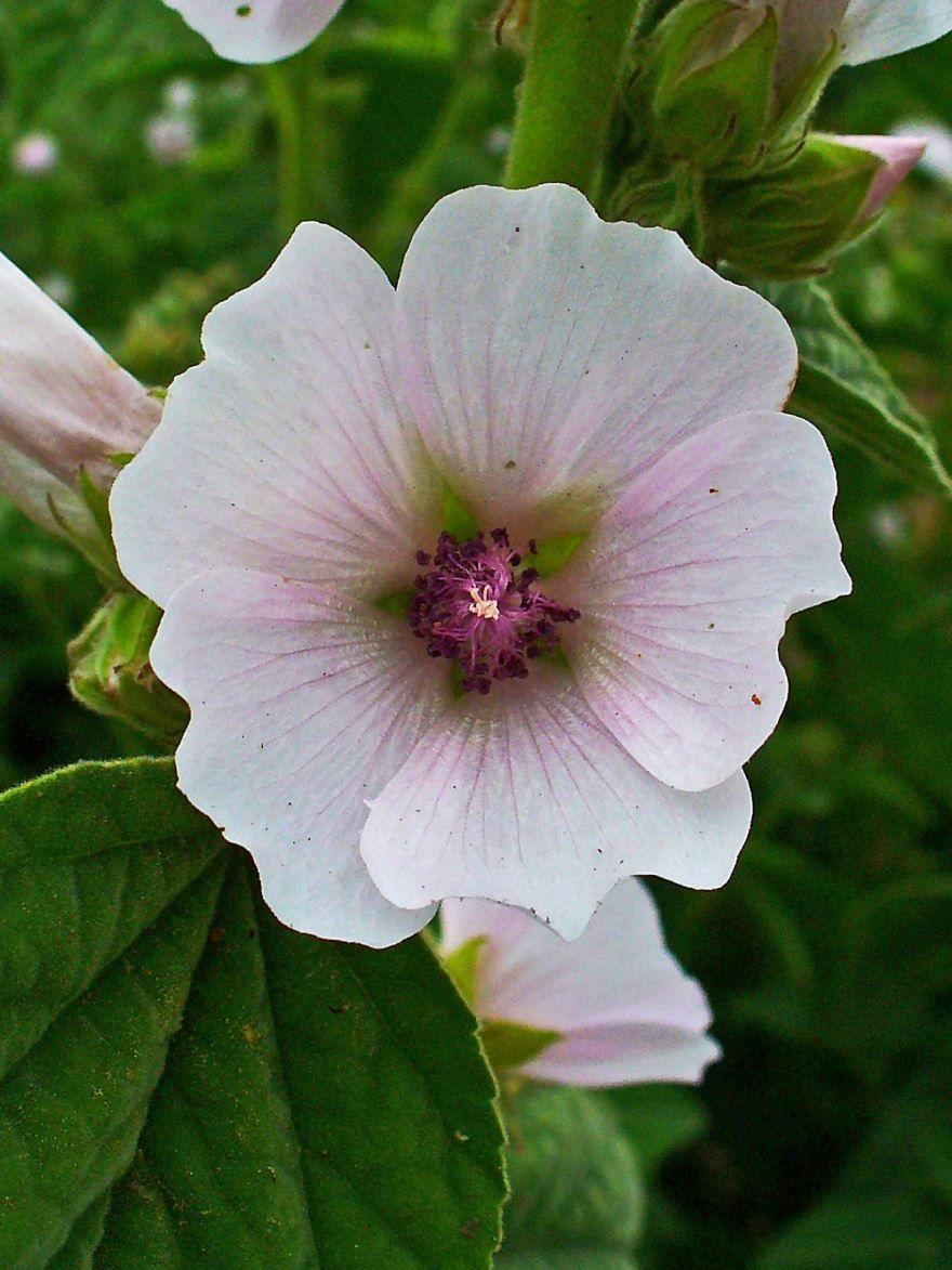 Фото растения алтей, полезного при простуде и кашле