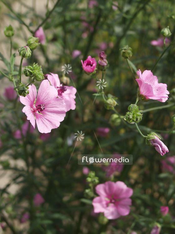Алтей – растение, для изготовления сиропа от кашля для детей