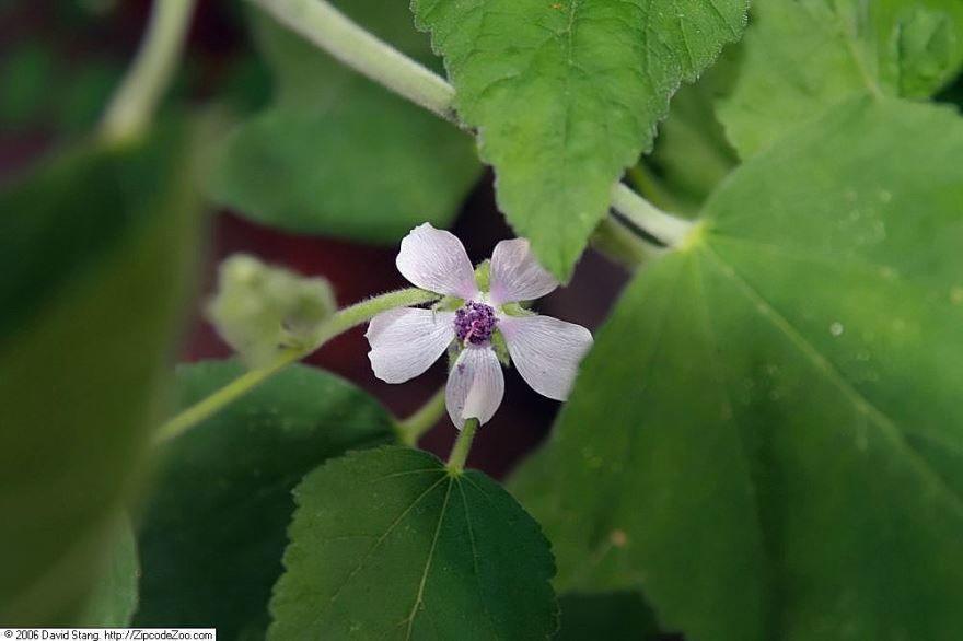Лекарственное растение алтей, бесплатные фото