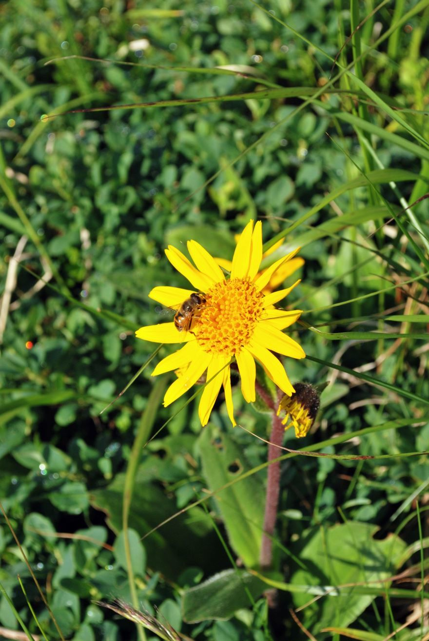 Фото растения арники, полезного при гомеопатии