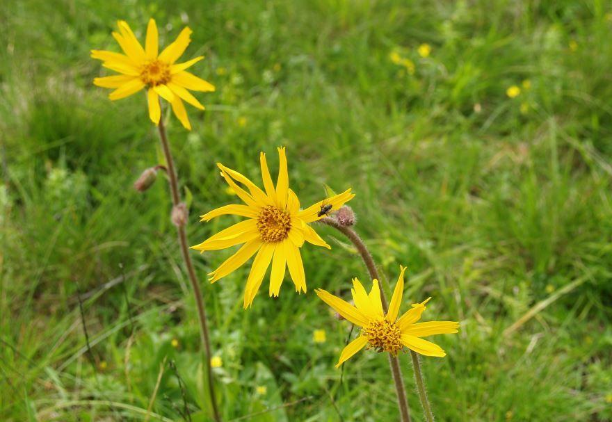 Скачать фото и картинки растения арники