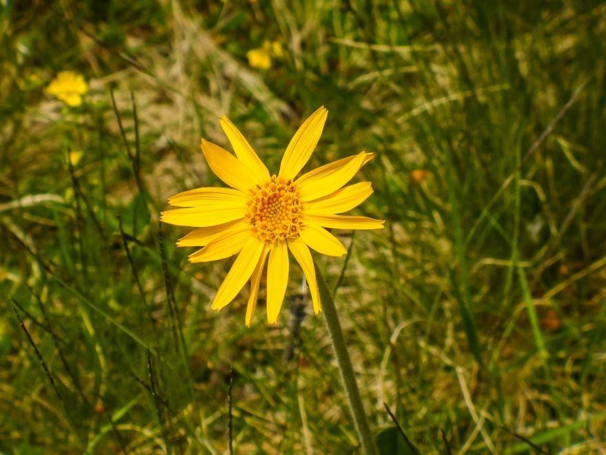 Фото красивого растения арники бесплатно