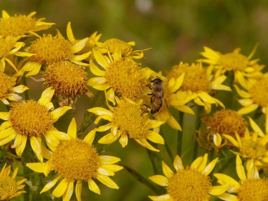 Арника – растение, для изготовления лекарства от гомеопатии