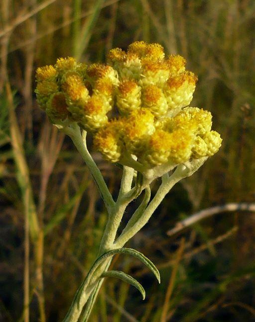 Смотреть фотографии и картинки растения бессмертника