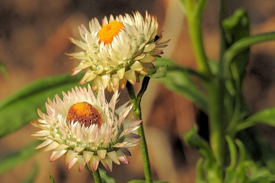 Лучшие фото лечебного растения бессмертник бесплатно