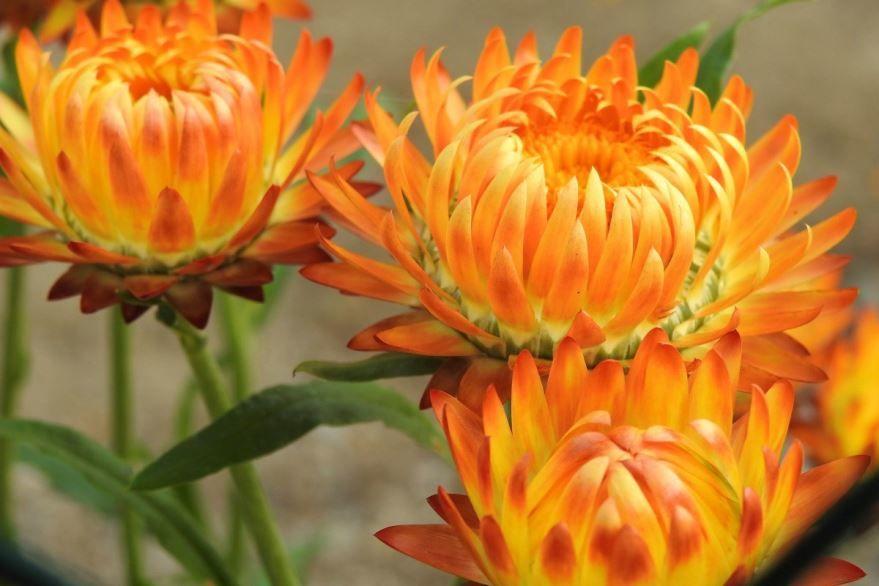 Смотреть фото растения бессмертника в хорошем качестве