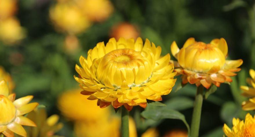Фото растения бессмертника, обладающего лечебными свойствами