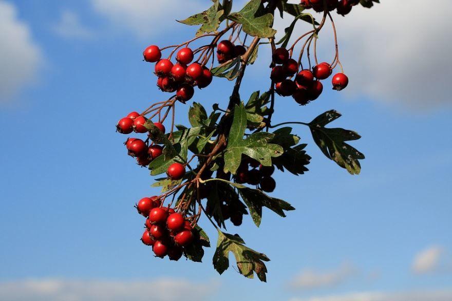 Фото лечебных ягод боярышника бесплатно