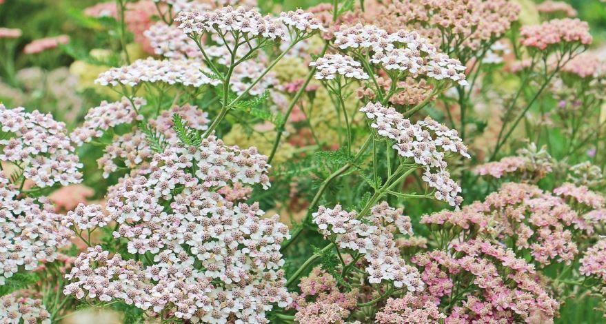 Фото лечебного растения валерианы бесплатно