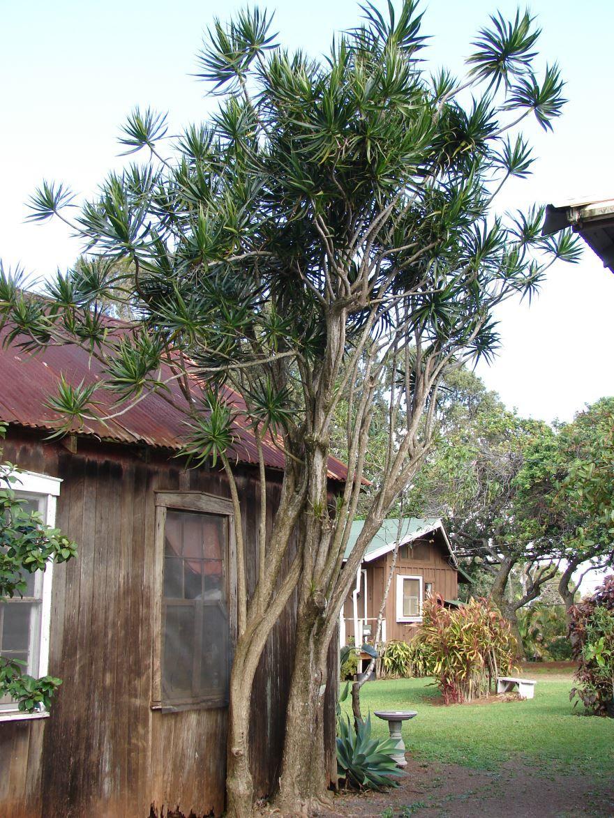 Сложный уход за домашним растением драцены в домашних условиях