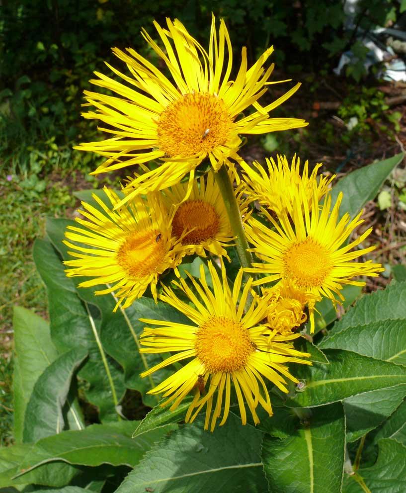 Фото растения девясил, обладающего полезными качествами