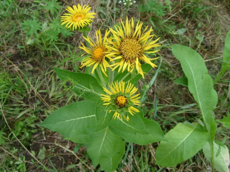 Смотреть растения девясил, помогающего от кашля
