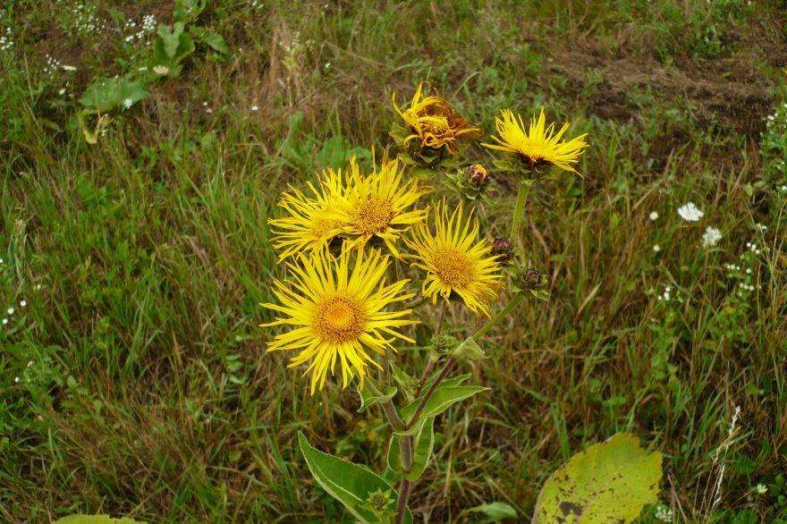 Скачать картинки и фото лечебных растений девясил