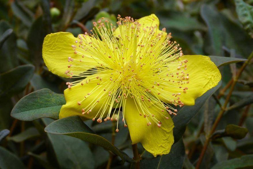 Фото лечебного растения зверобой бесплатно