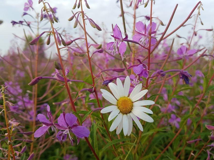 Фото растения кипрей, обладающего полезными качествами