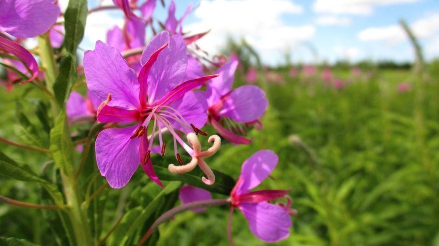 Смотреть фото домашнего растения кипрея