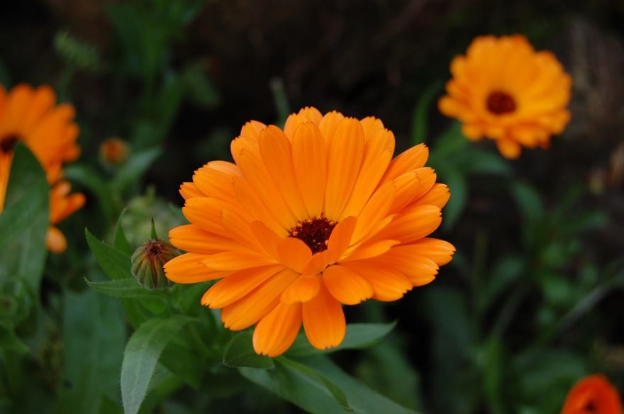 этот раз ноготки цветы полезные фото ней