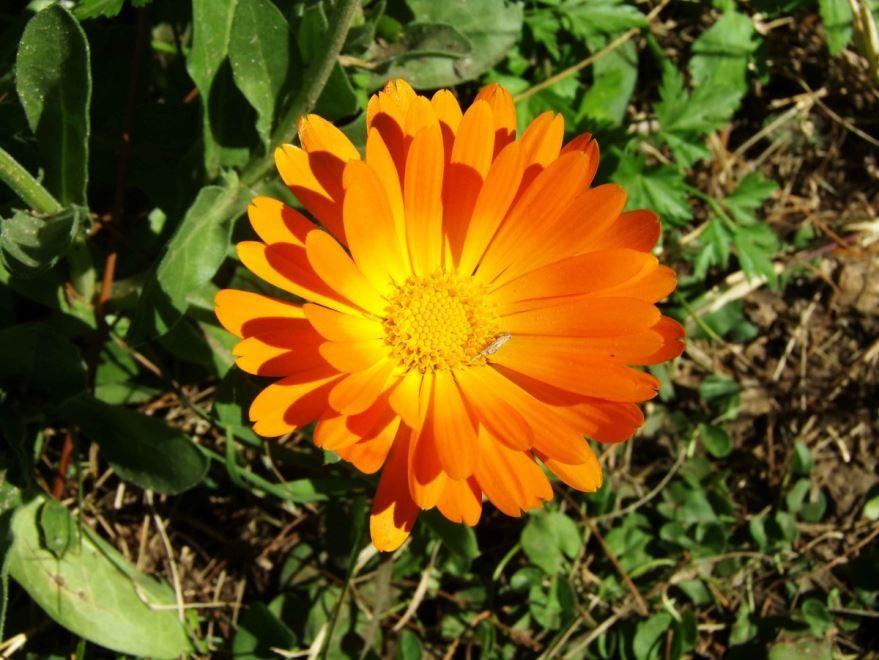 Фото растения календулы, обладающей полезными качествами