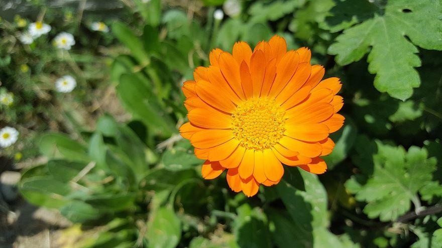 Скачать картинки и фото лечебных растений календулы