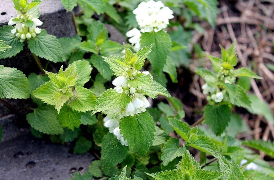 Смотреть фото лечебной крапивы с листьями онлайн