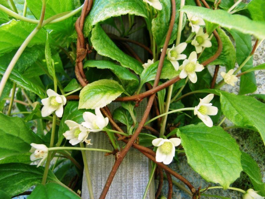 Фото лечебных растений китайских лимонников