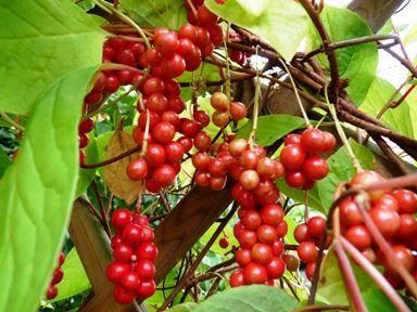 Фото лимонников с ягодами, из которых изготавливают полезные настойки
