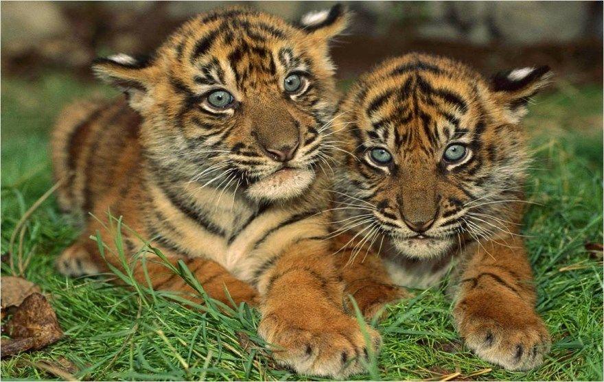 2022 год животное восточный китайский календарь тигр