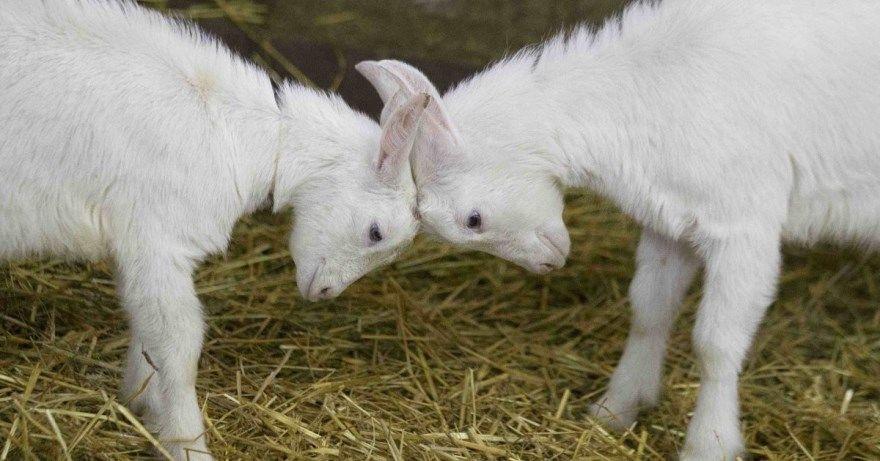 2027 год животное восточный китайский календарь коза