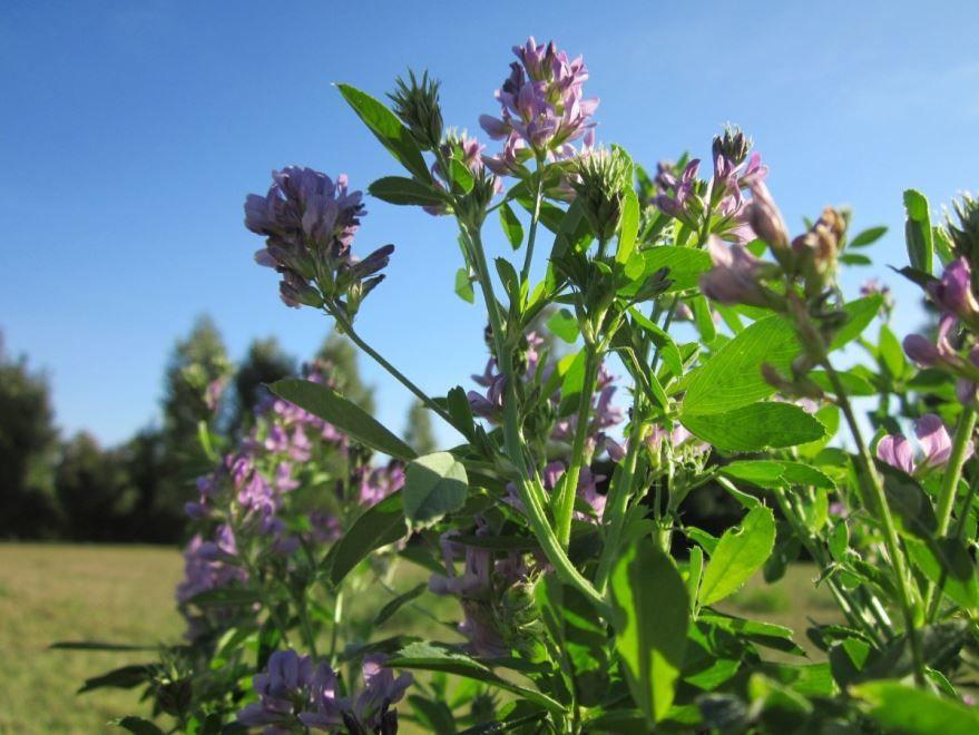 Скачать фото растения люцерны клевера