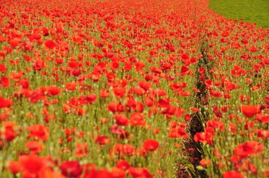 Скачать лучшие фото цветков маков
