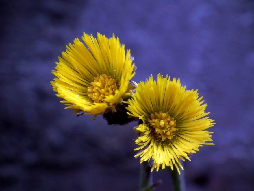 Скачать фото растения мать и мачехи с листьями бесплатно