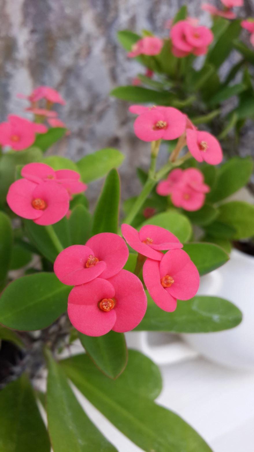 Фото домашнего растения – молочай в хорошем качестве