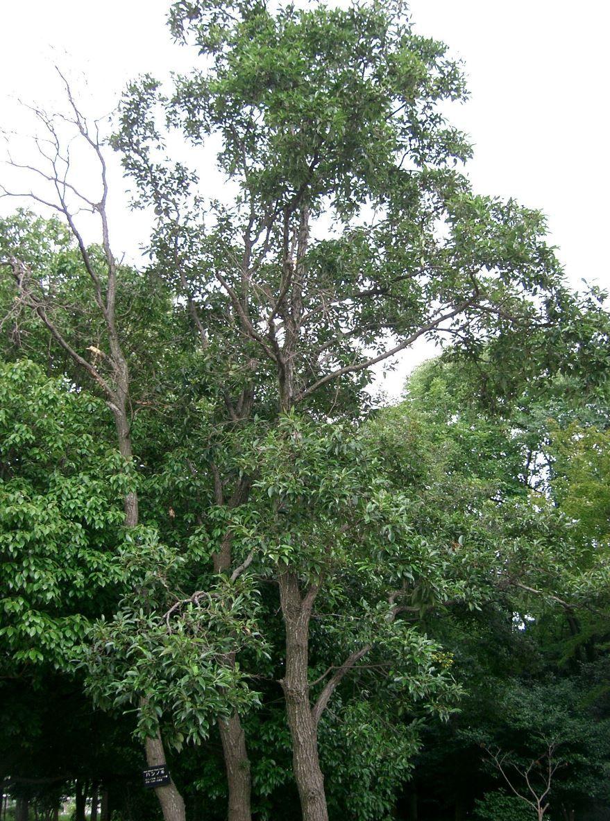 Фото дерева ольхи из которого мастерят мебель, двери, шкафы, доски и другие вещи