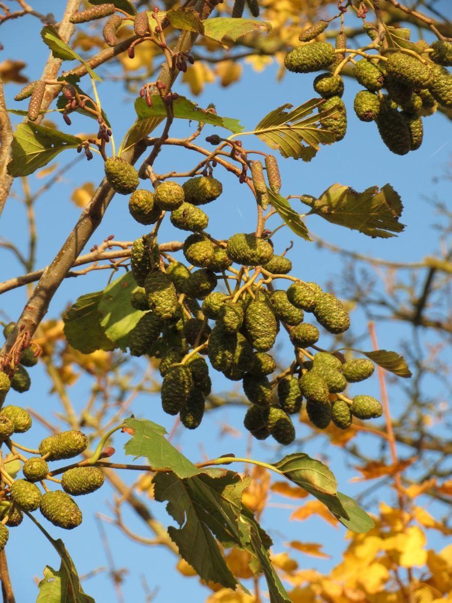 Фото дерева ольхи с листьями