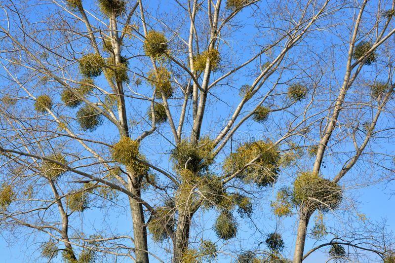 Фото растения омелы с лечебными свойствами